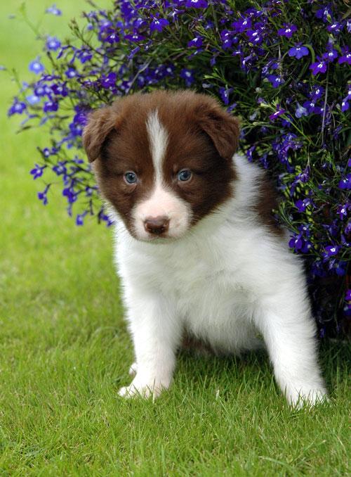 Kahverengi Beyaz Border Collie Köpek Yavrusu